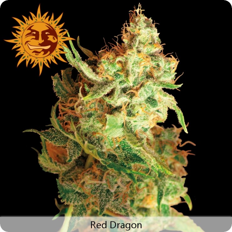 Marihuana Red Dragon de Barney's Farm