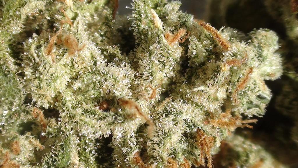 Tricomas de la marihuana Amnesia Haze