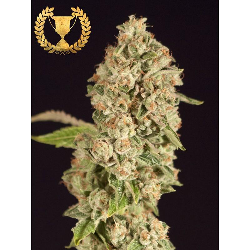 Marihuana Og Reek'n de Devil's Harvest seeds
