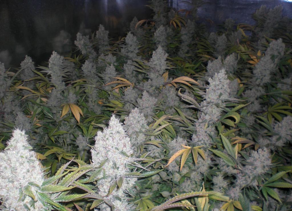Cultivo de cannabis Amnesia Haze