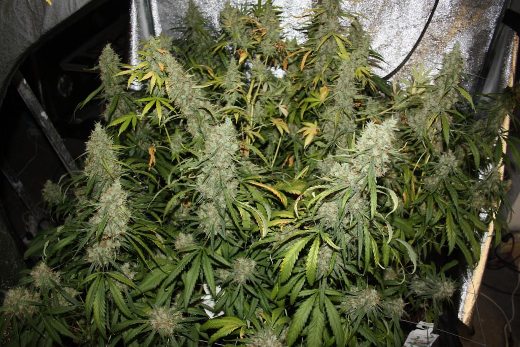 Cultivo de interior de la marihuana Amnesia Haze