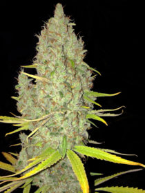 Marihuana Chicle de TH seeds