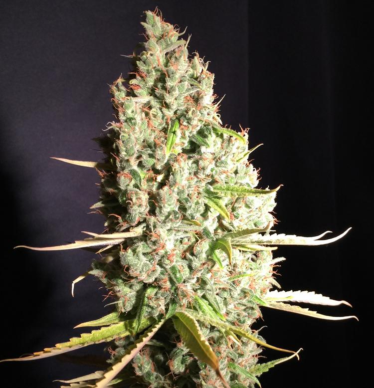 marihuana Chicle de TH Seeds