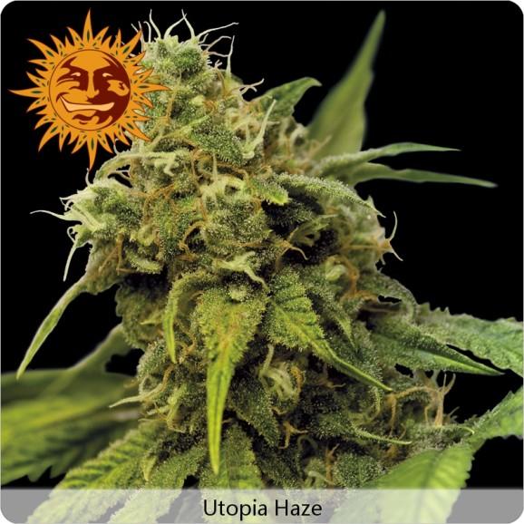 Cannabis Utopia Haze de Barney's Farm