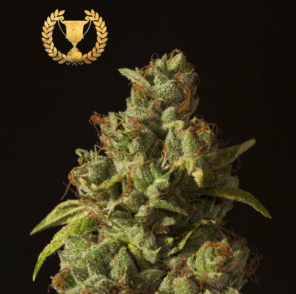 Marihuana White Fire