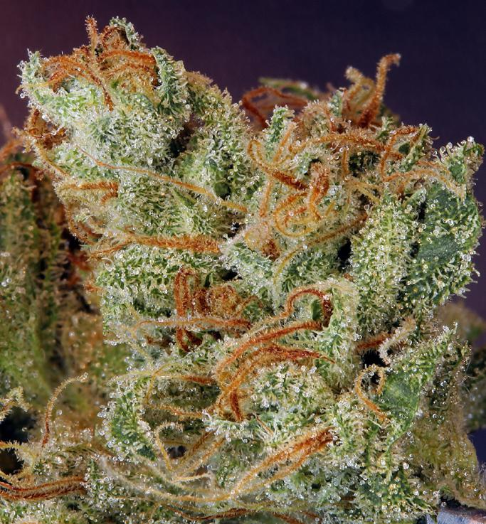 tricomas de ghost Train Haze #1