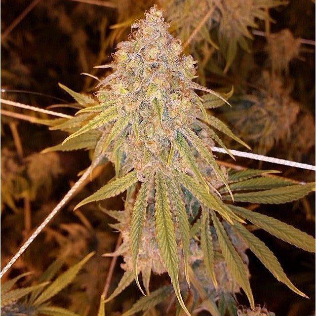 Marihuana Trainwreck