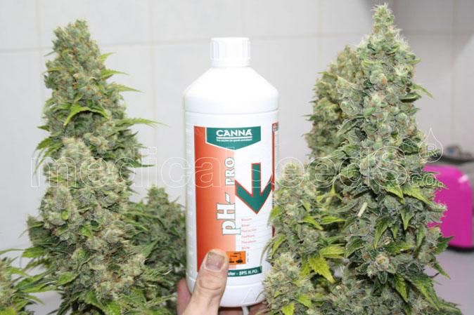 Marihuana Seeds Sour Diesel BCN