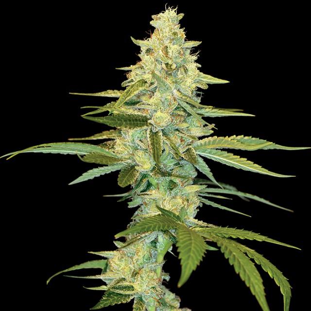 Marihuana cannalope kush