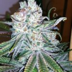 Marihuana Go Time de TGA Subcool
