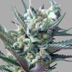 Cannabis Moonshine's Ghost Train