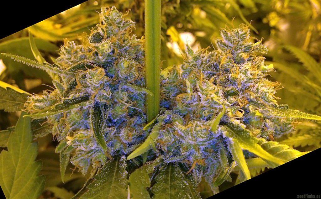 Planta de cannabis Moonshine's Ghost Train