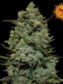 Marihuana Cookies Kush de Barney's Farm