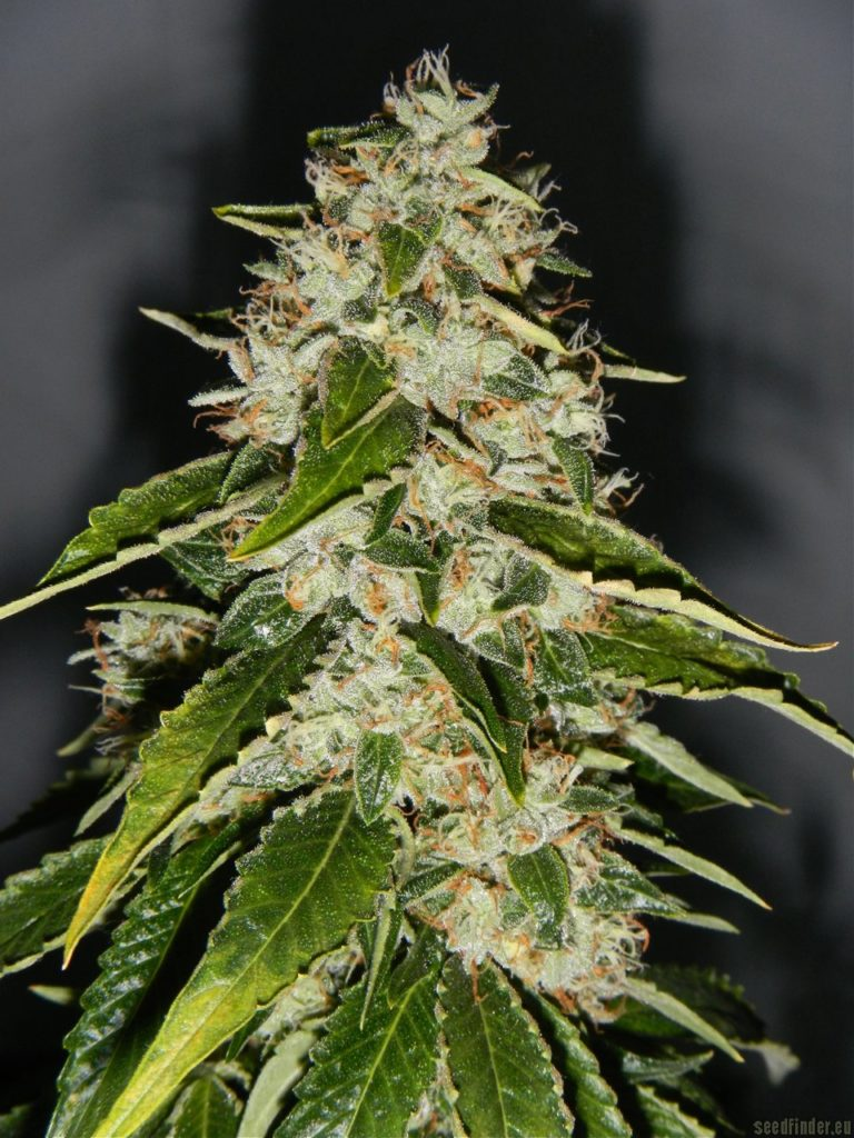 Cogollo de marihuana kosher kush