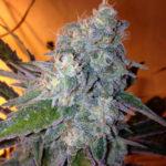 Marihuana Liberty Haze de Barney's Farm