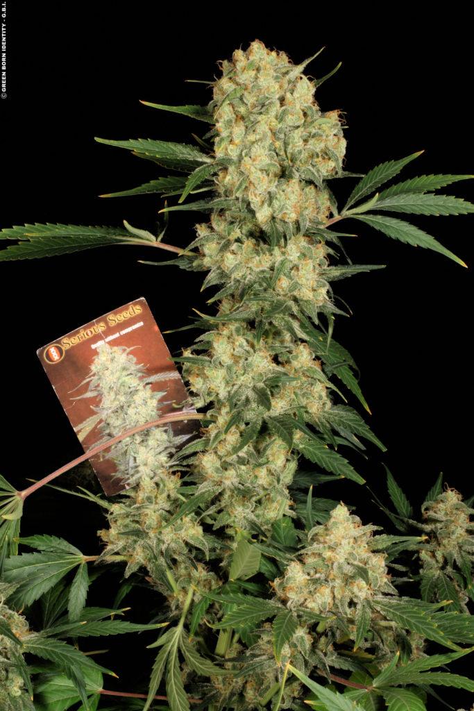 Floración de marihuana ak-47