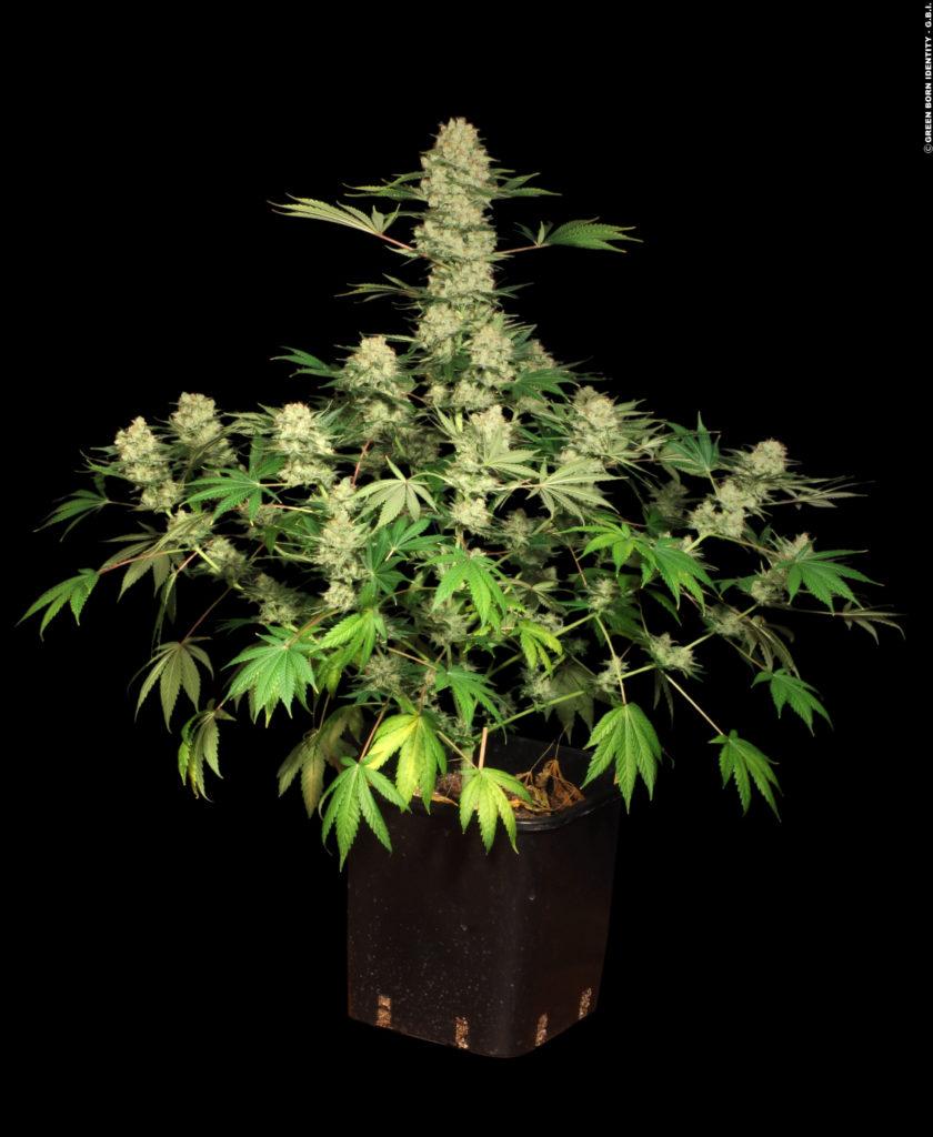 Cannabis ak-47