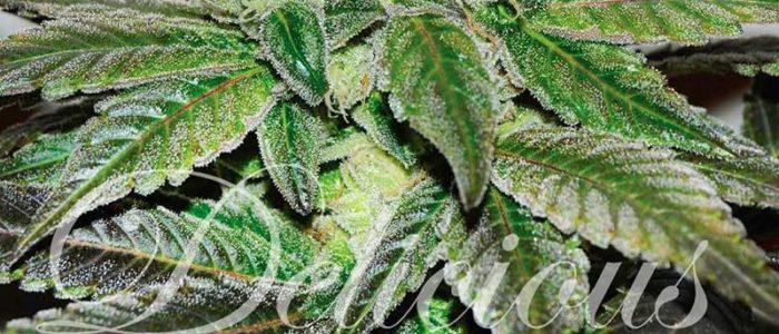Marihuana Sugar Candy