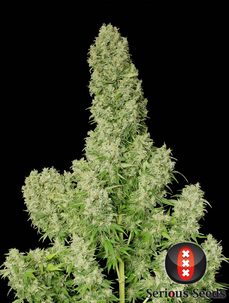 White Russian de Serious Seeds