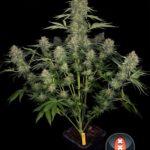 Cannabis Serious kush de Serious Seeds