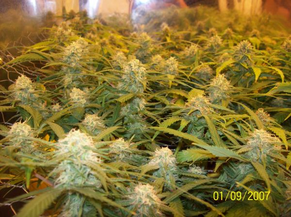 Sugar black rose en SCROG cultivo de interior