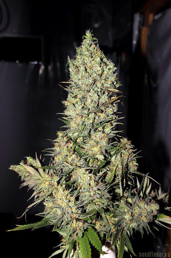 Marihuana Chronic