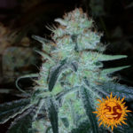 Marihuana Chronic Thunder