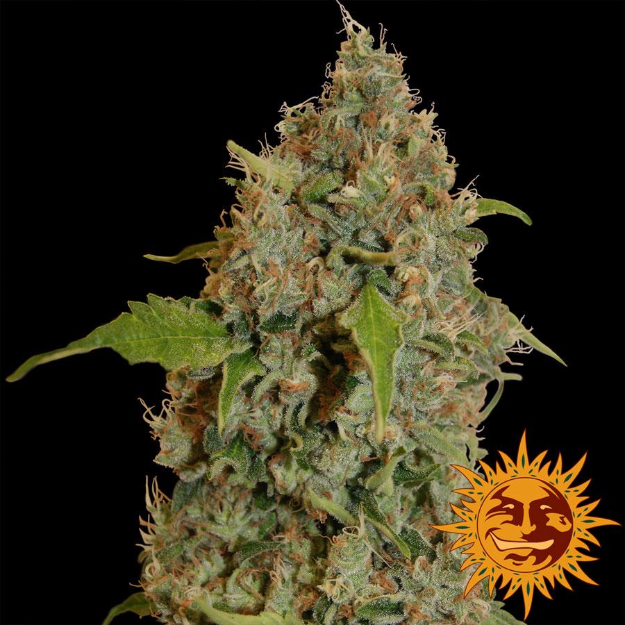 planta marihuana chronic thunder