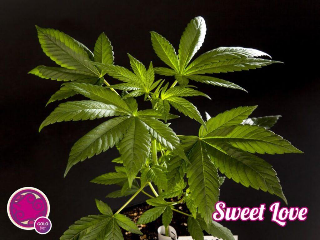 Sweet Love en crecimiento