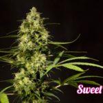 Sweet love fenotipo B