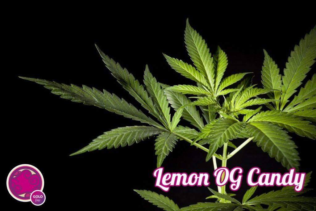 Crecimiento de Lemon Og Candy