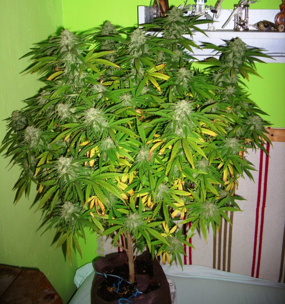 Floración Fruity Chronic