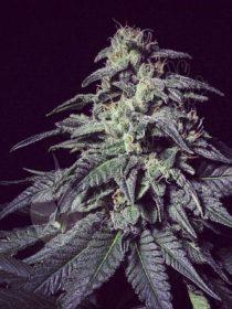 Marihuana Harybo