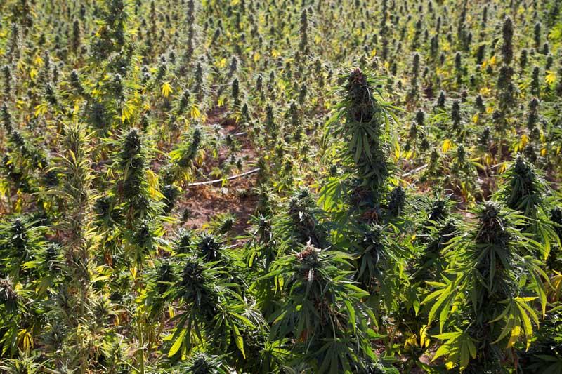Afghana marihuana