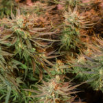 Cultivo en interior de Blue Dream