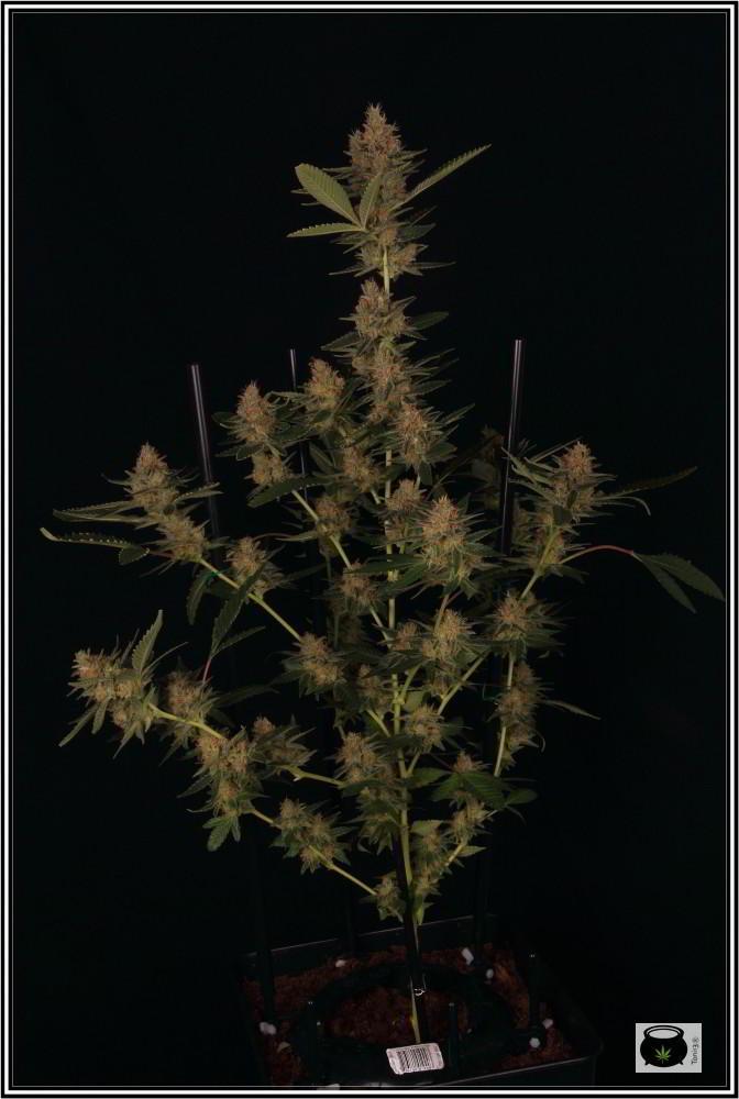 Estructura de Lavender en floración