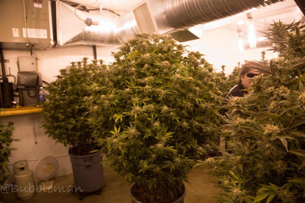 Marihuana Chemo Kush