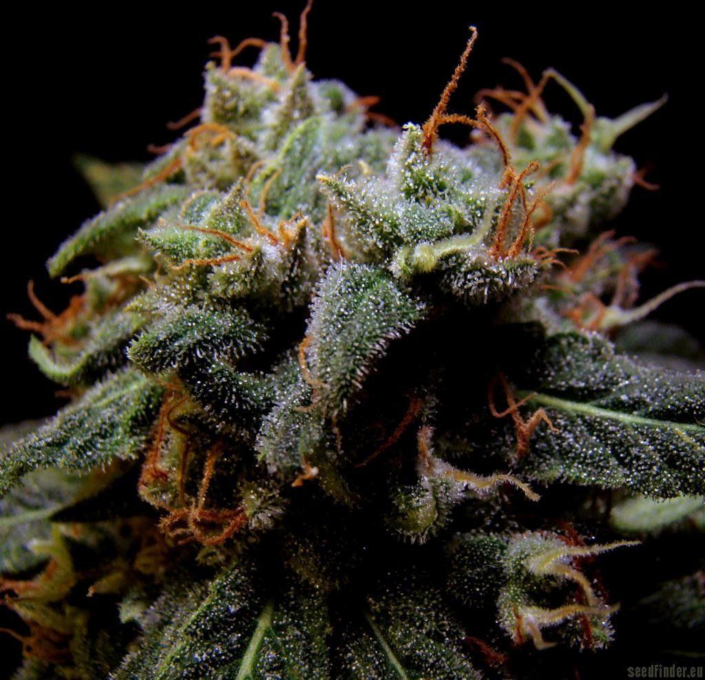 Marihuana Black Domina