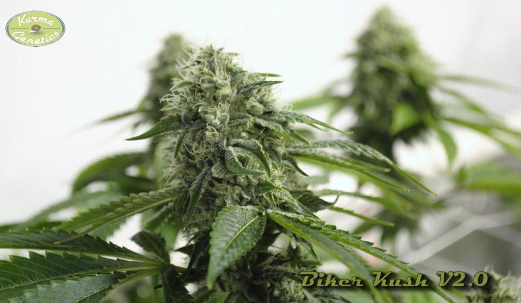 Marihuana Biker Kush V1