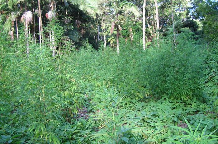 Landrace africana congoleñas, foto: Cannabis Magazine