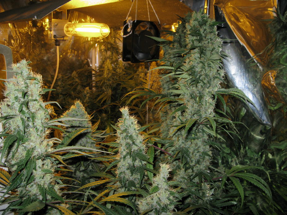 Island Sweet Skunk en interior