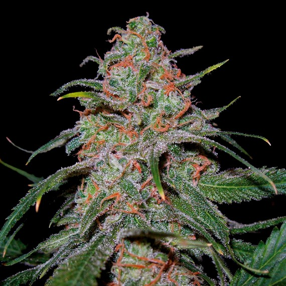 Marihuana Lemon Skunk de DNA Genetics